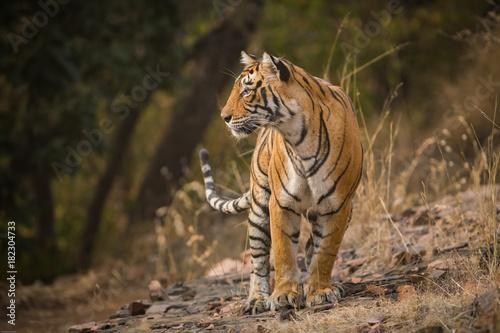 Fotobehang Tijger A tigress, Ranthambore National Park, India