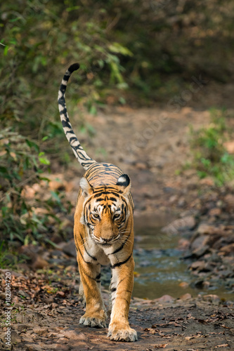 A Tigress from ranthambore national park, India Poster