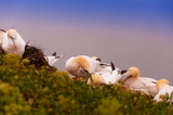 A colony of northern Gannets - 182305120