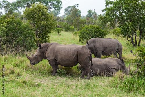 Fototapeta White Rhinoceros