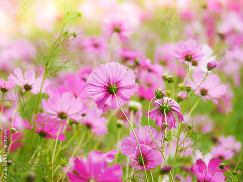 Foto op Plexiglas Purper the pink cosmos flower in the garden field on beautiful sunny day