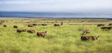 cows graze fresh grass on a meadow in Andrew Molina State park - 182318393
