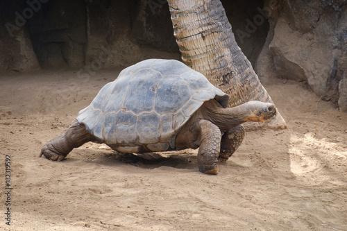 Fotobehang Schildpad huge galapagos tortoise