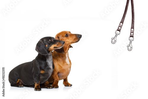 Papiers peints Chien de Crazy couple of dogs and owner with leash