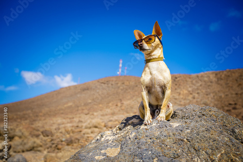 Staande foto Crazy dog chihuahua dog watching and looking at the mountain outside , on summer vacation holidays wearing funny sunglasses