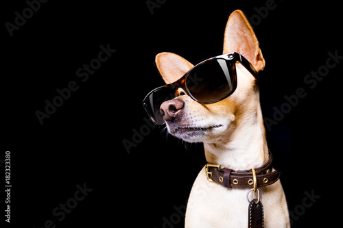 Staande foto Crazy dog posing dog with sunglasses