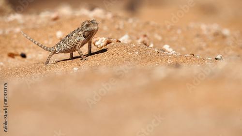 Aluminium Kameleon Baby Namaqua chameleon