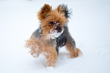 Small dog in snow. Yorkshire terrier - 182334119