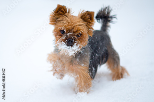 Small dog in snow. Yorkshire terrier Poster