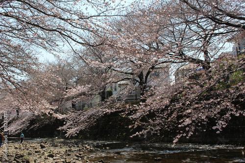 恩田川の桜 Poster