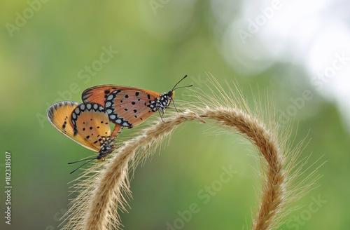 Fotobehang Vlinder Buttefly Mating
