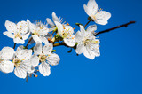 Beautiful cherry blossom in spring time in bright sunny day over blue sky.Selective focus close-up photography. - 182356984