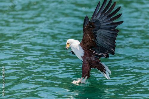 Plexiglas Eagle African Fish Eagle