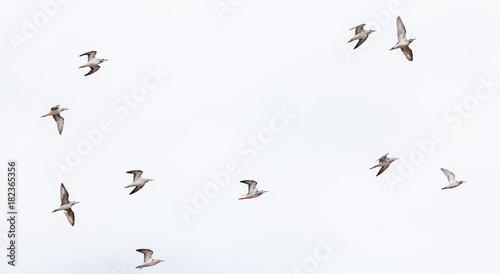 Fotobehang Natuur Grey Headed Gulls