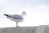 Seagull - 182377777