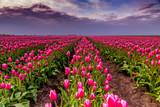 Tulpen Tulpen Tulpen - 182380927