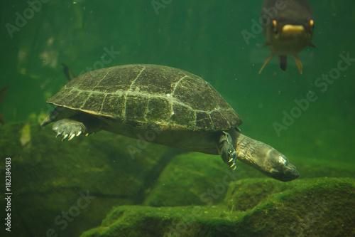 Fotobehang Schildpad Yellow-headed temple turtle (Heosemys annandalii)