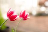 チューリップの花 - 182388932