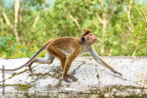 Fotobehang Aap Monkey runs on the ancient Buddhist temple in Mulkirigala, Sri Lanka