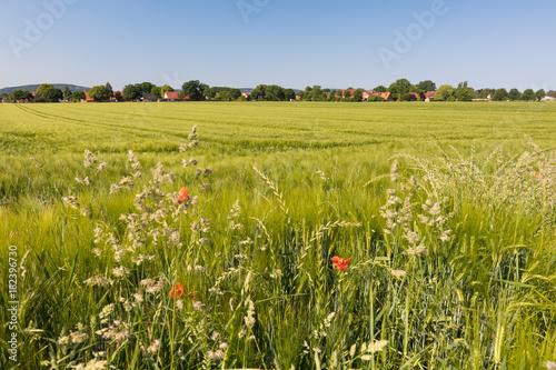 Keuken foto achterwand Gras Gräser am Feldrand, Anfang Juni, Deutschland