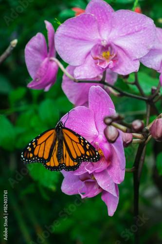 Fotobehang Vlinder Monarch butterfly, Danaus Plexippus, nectaring in a purple orchid