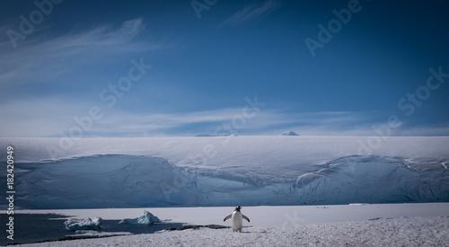 Plexiglas Pinguin gentoo penguin
