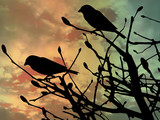 Birds in a bush at sunset in silhouette