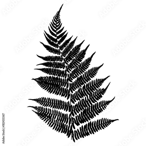 Fern. Black isolated silhouette on white background. Vector illustration. - 182433367