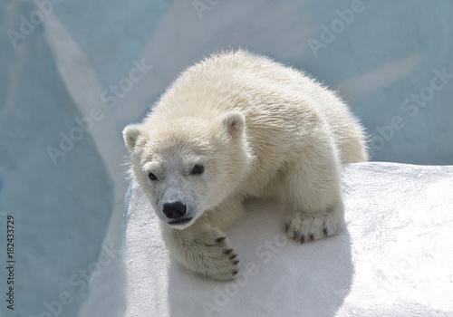 Deurstickers Antarctica Белый медвежонок.