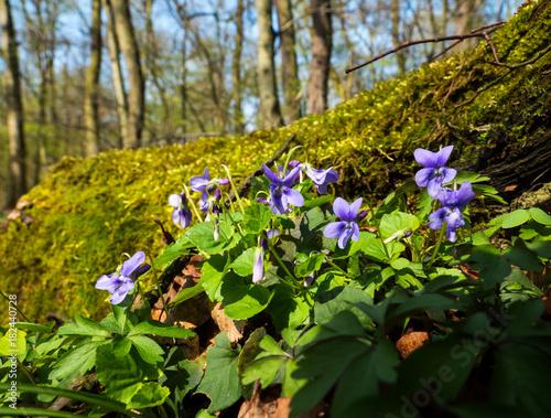 fiołek leśny w kwietniowym lesie