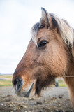 Horse head with mane in Iceland - 182448322
