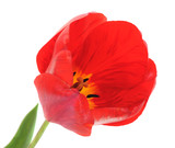 One red tulip.