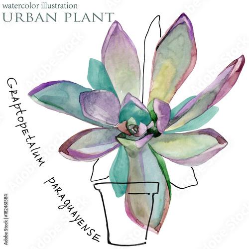 succulent plant. botanical watercolor illustration.