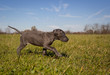 An adorable blue great Dane puppies walks across a grassy lawn with determination