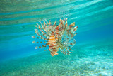 Lion fish swimming under water - 182469972