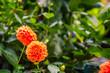 Blooming orange dahlia