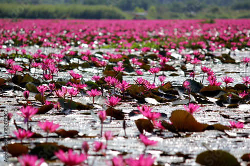 red lotus flower in the pond