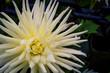 blooming white dahlia