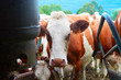 Cow standing before mechanical milking