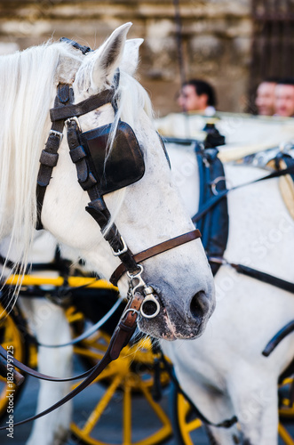 Beautiful portrait of a spanish white horse in Seville city