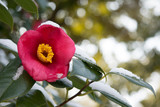 椿の花 雪景色  - 182481545