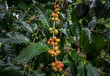 Coffea tree is a genus of flowering plants whose seeds, called coffee beans, are used to make various coffee beverages and products.