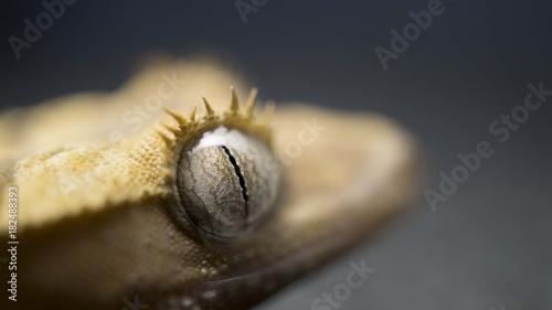 Fotobehang Natuur Beautiful Eyes - Crusted Gecko