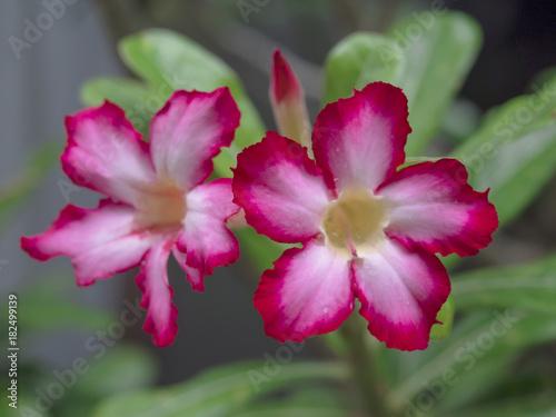 Plexiglas Azalea Close up of red Azalea flowers