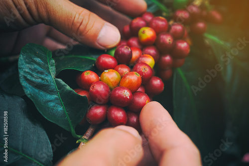 Hands holding organic red berries coffee beans.
