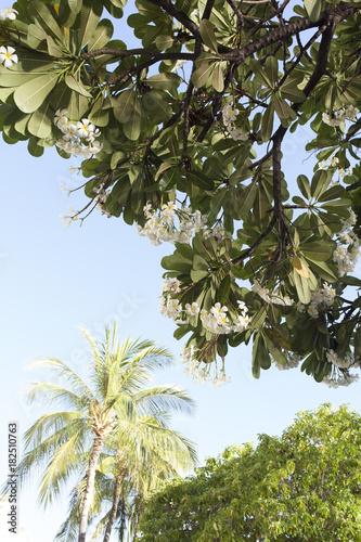 Plexiglas Plumeria ハワイ ボタニカルガーデン プルメリア