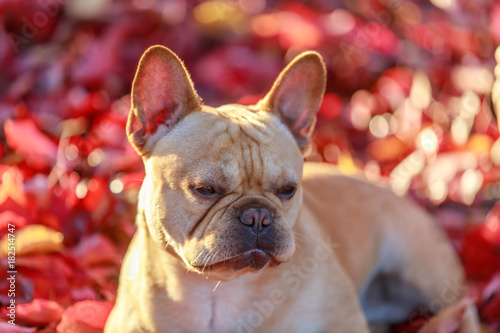 Foto op Aluminium Franse bulldog French Bulldog with Autumn Leaves. Frenchie in Maple Leaves Background.