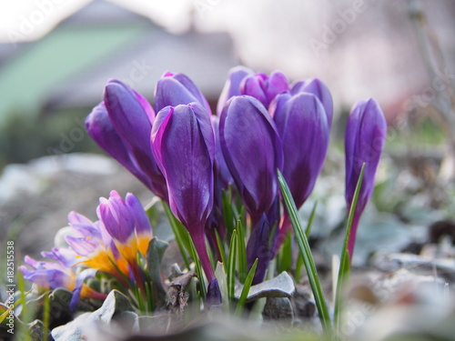 Krokus kwiat wiosny