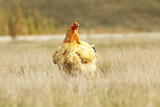 large domestic hen in the field - 182516116