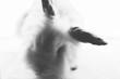 White fluffy rabbit